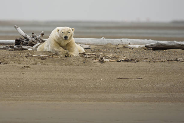 Polar Bear on Land Laying Down Looking at Viewer stock photo