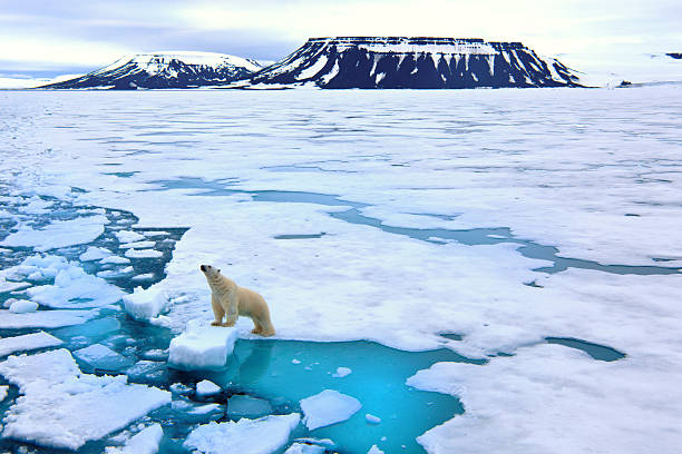 Polar bear on pack ice  ice floe stock pictures, royalty-free photos & images