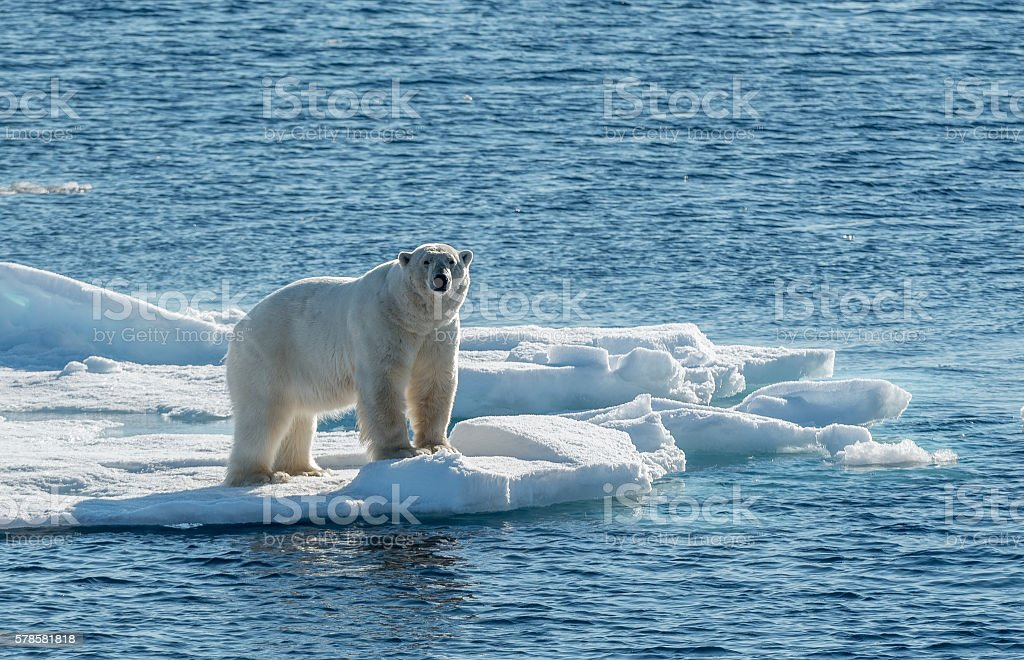 Polar Bear on sea ice stock photo