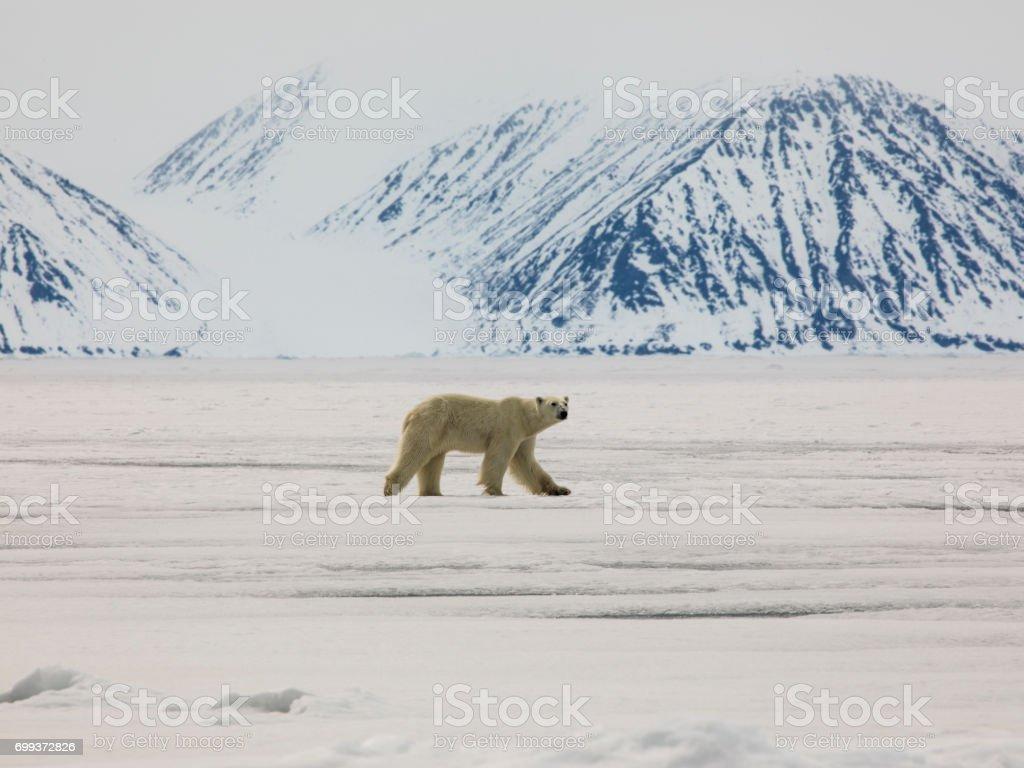 Polar Bear on Sea Ice stock photo