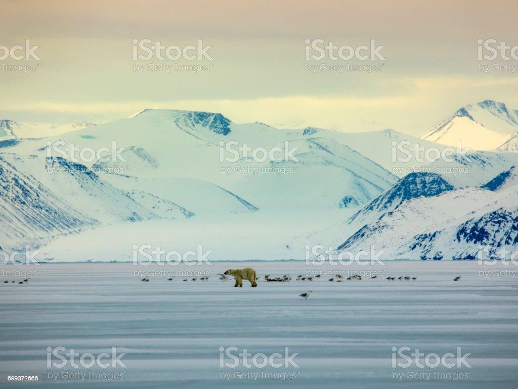 Polar Bear on Sea Ice with bird stock photo