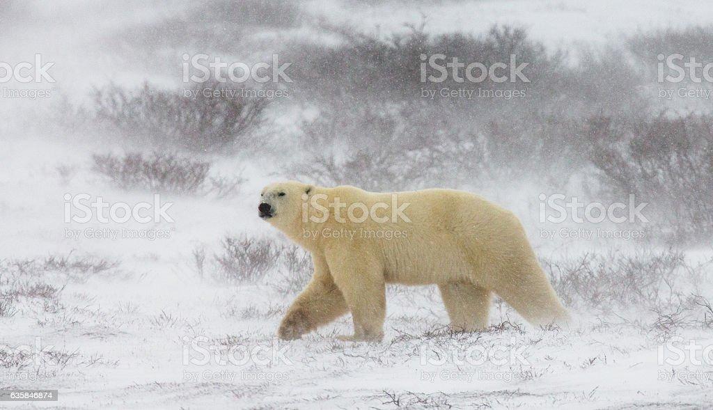 Polar bear on the tundra. stock photo
