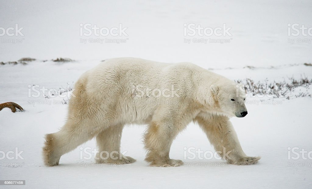 Polar bear on the tundra. stock photo