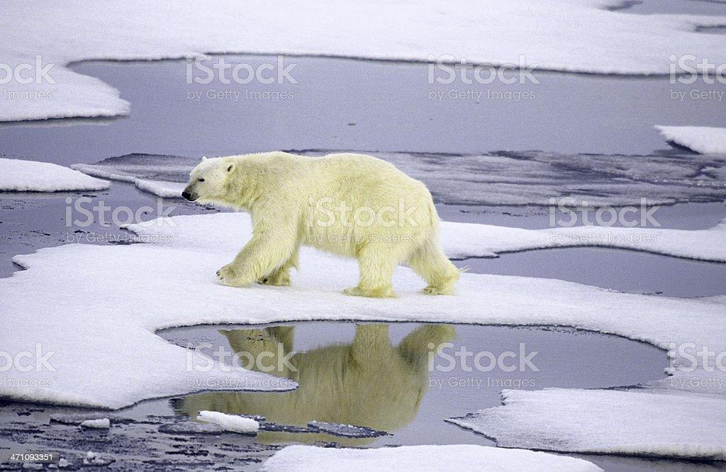 Polar bear on thin ice royalty-free stock photo
