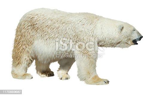 Polar bear walking on white background