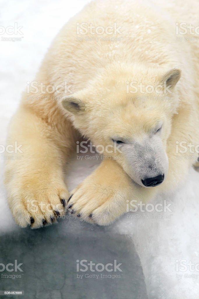 Polar bear on white snow royalty-free stock photo