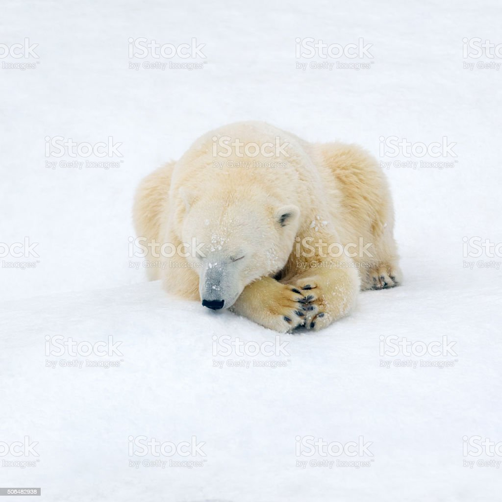 Polar bear on white snow royalty-free stock photo