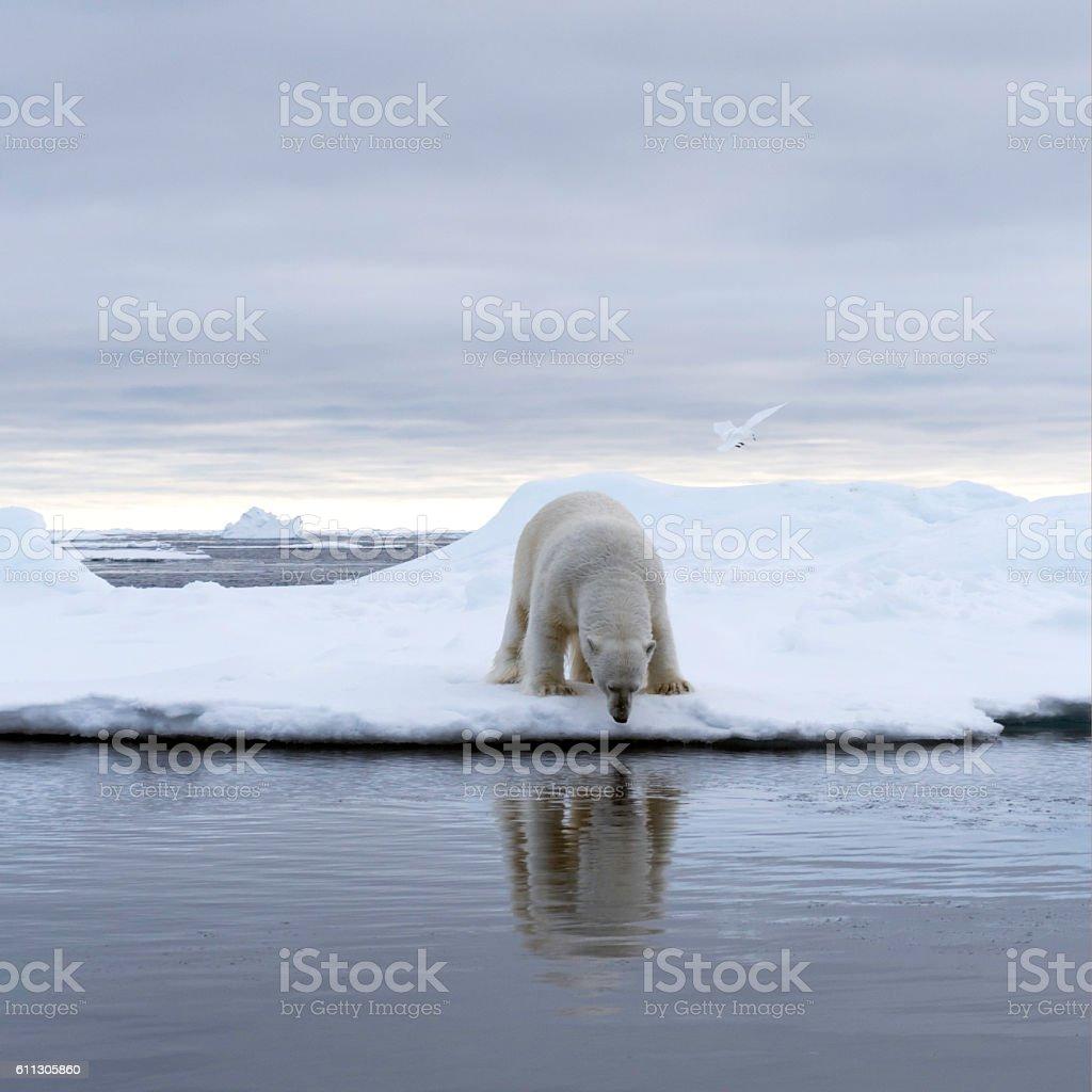 Фото белый медведь фургон окно