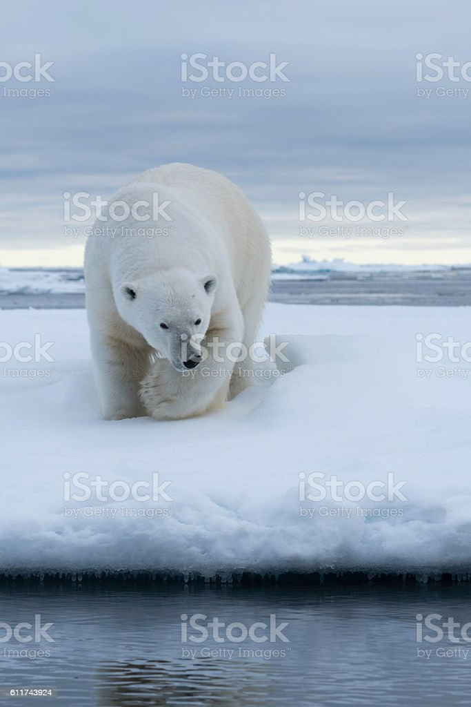 Polar Bear Pack Ice stock photo