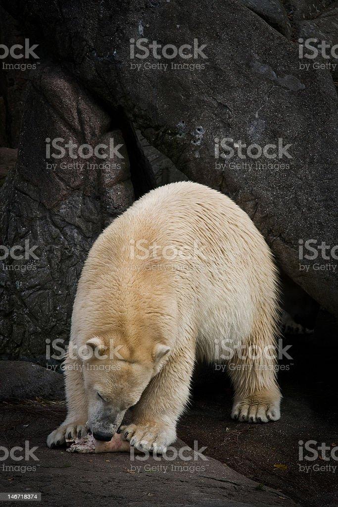 Polar bear part 3 stock photo