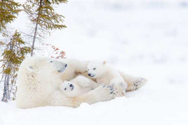 Polar bear (Ursus maritimus) Polar bear mother (Ursus maritimus) with two cubs, Wapusk National Park, Manitoba, Canada animal family stock pictures, royalty-free photos & images