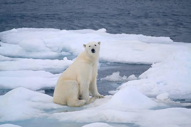 Polar Bear stock photo