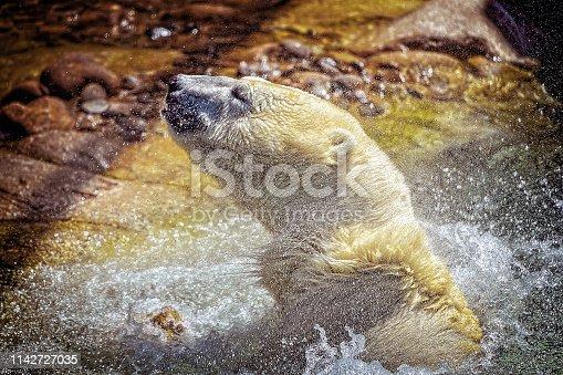 Polar Bear splashing in the water