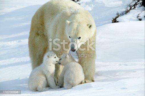 Polar Bear female and baby
