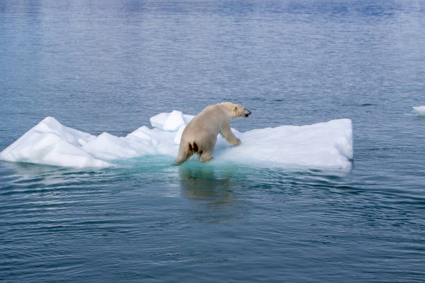 Polar Bear Polar bear climbing onto small ice float in blue ocean ice floe stock pictures, royalty-free photos & images