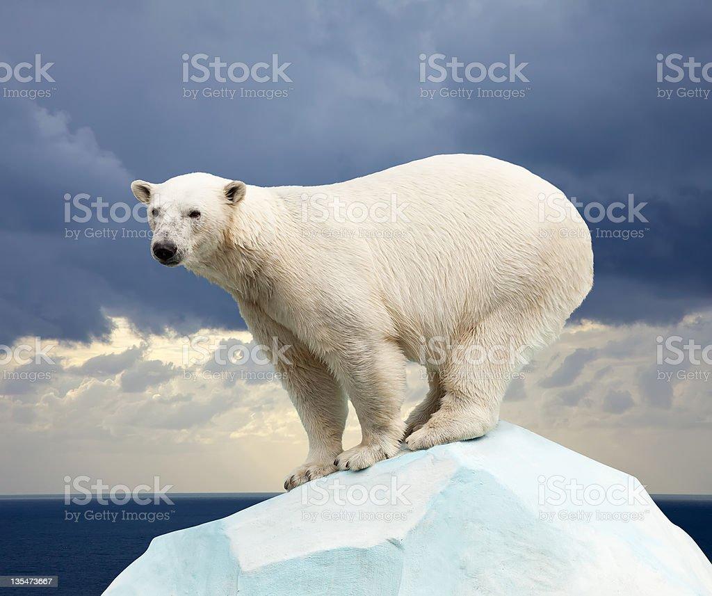 Urso polar - foto de acervo