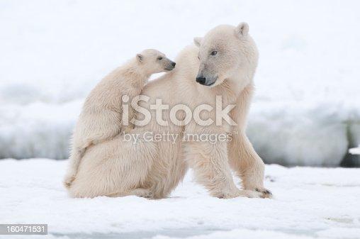 Polar bear global warming concept