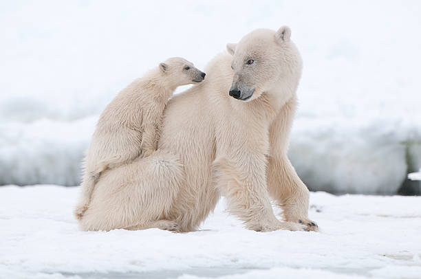 Polar bear Polar bear with cub in Arctic Svalbard animal family stock pictures, royalty-free photos & images