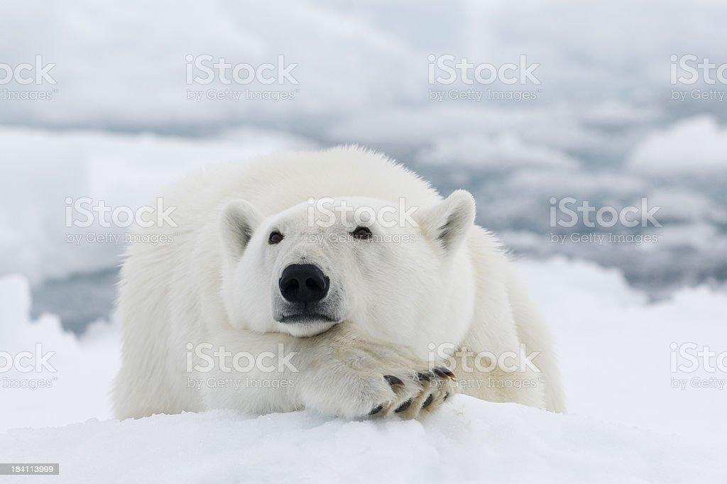 """Polar bear """"Polar bear in Svalbard, Arctic."""" Animal Stock Photo"""