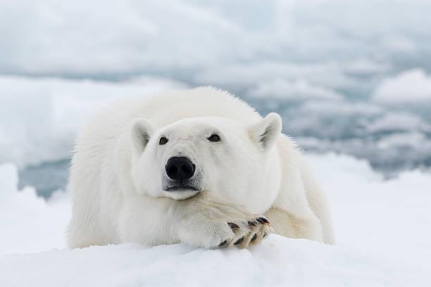 Cтоковое фото Полярный медведь