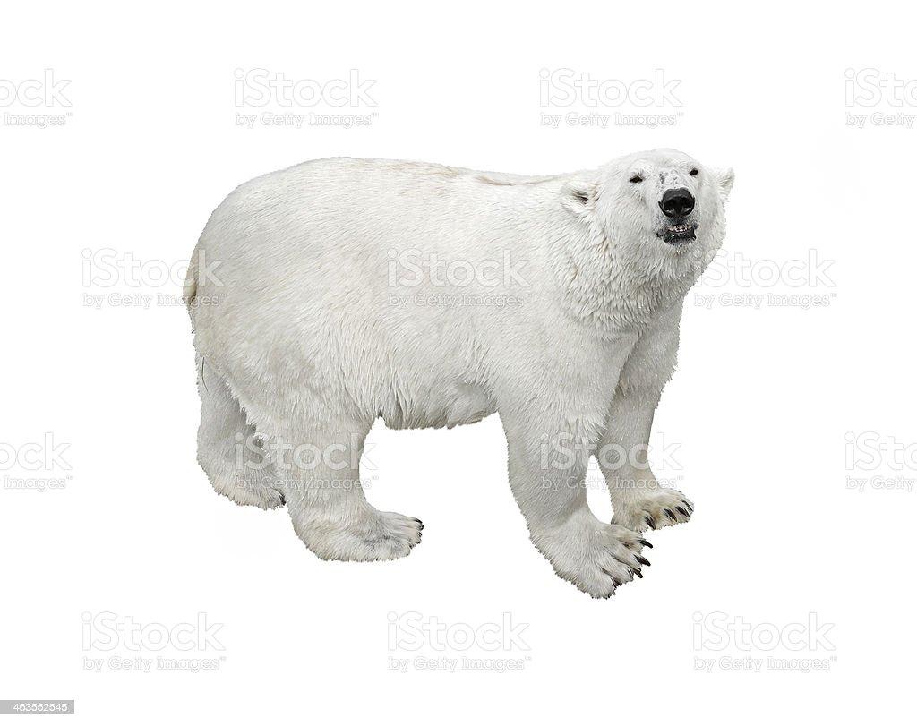 Polar bear (isolated) stock photo