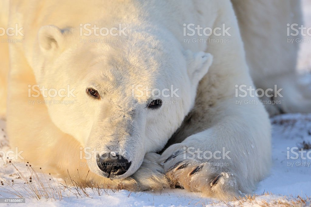 Polar Bear stock photo