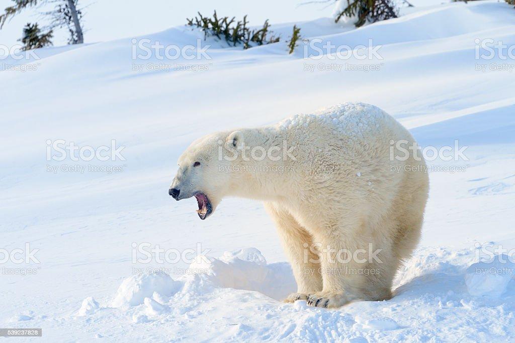 Polar bear (Ursus maritimus foto de stock libre de derechos