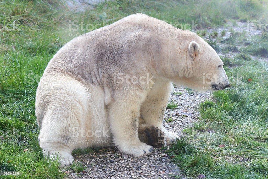 polar bear   (ursus maritimus) royalty-free stock photo