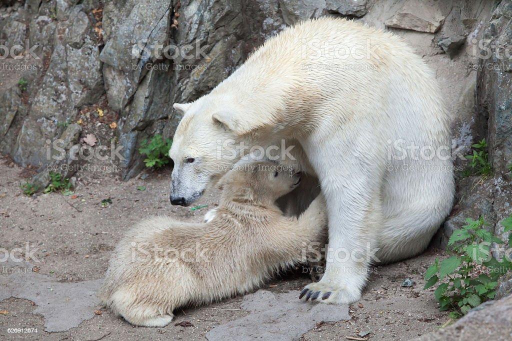 Polar bear (Ursus maritimus). stock photo