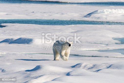 istock Polar bear 628334460