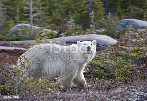 Profile image of a polar bear walking among pine trees.  Autumn in Churchill, Manitoba, Canada