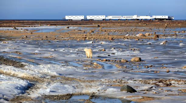 polar bear - tundra imagens e fotografias de stock