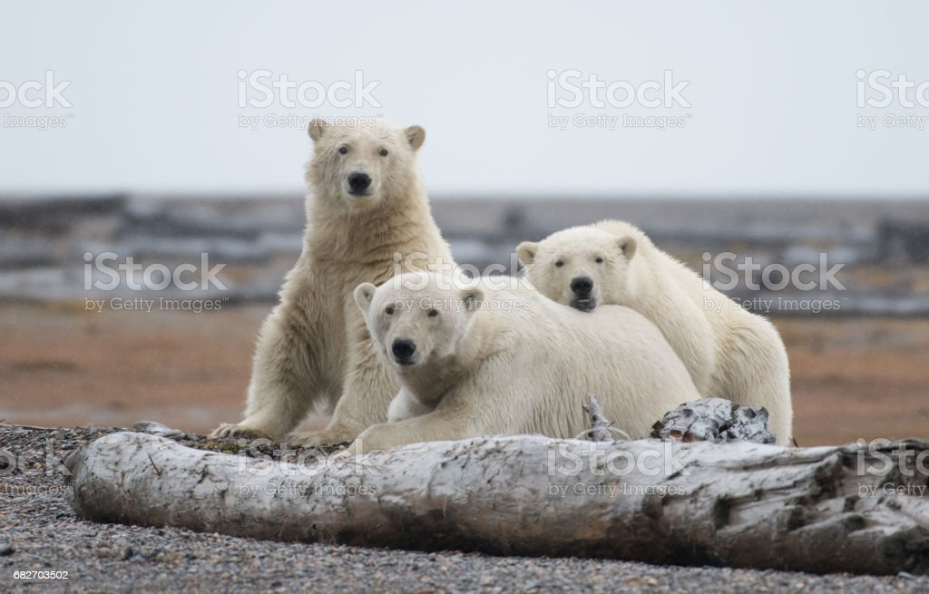 Oso Polar - foto de stock