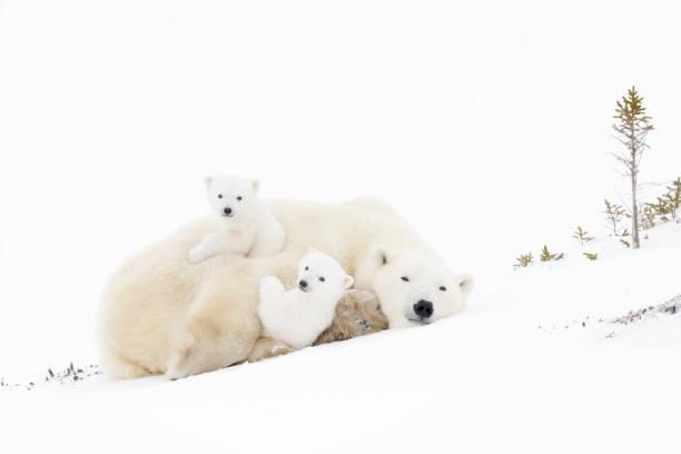 Polar bear (Ursus maritimus) Polar bear mother (Ursus maritimus) playing with two new born cubs, Wapusk National Park, Manitoba, Canada cub stock pictures, royalty-free photos & images