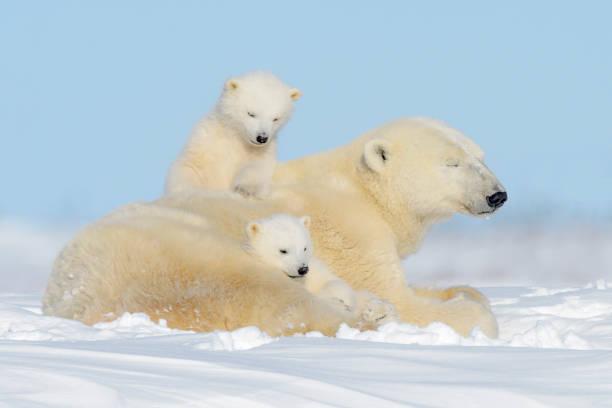 Polar bear (Ursus maritimus) Polar bear mother (Ursus maritimus) playing with two cubs, Wapusk National Park, Manitoba, Canada animal family stock pictures, royalty-free photos & images