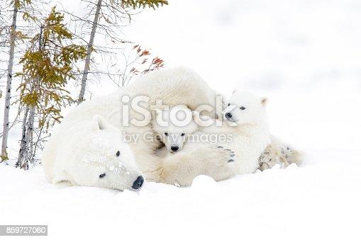 istock Polar bear (Ursus maritimus) 859727060