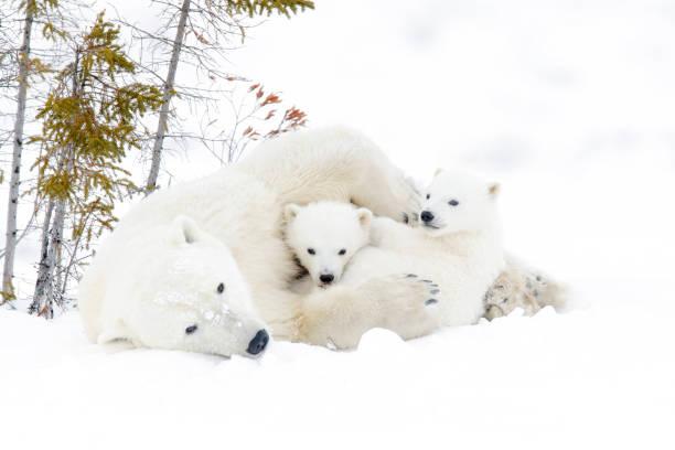Polar bear (Ursus maritimus) Polar bear mother (Ursus maritimus) with two cubs, Wapusk National Park, Manitoba, Canada cub stock pictures, royalty-free photos & images