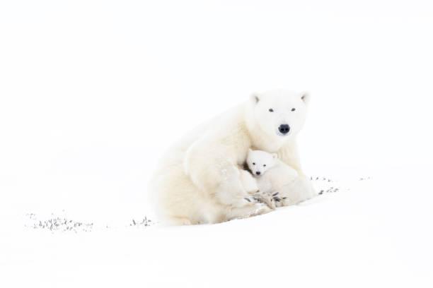 Polar bear picture id882358128?b=1&k=6&m=882358128&s=612x612&w=0&h=cayivddlqudkpzhahjp6zcqw1rcywwyqjxmcnmdvixo=