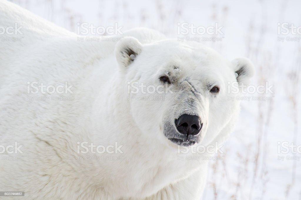 polar bear portrait and scars stock photo