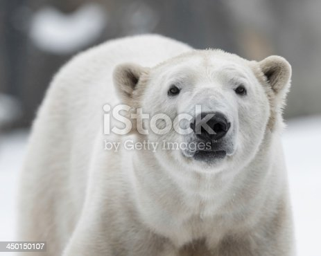 Closeup portrait of a young  male polar bear in the snow