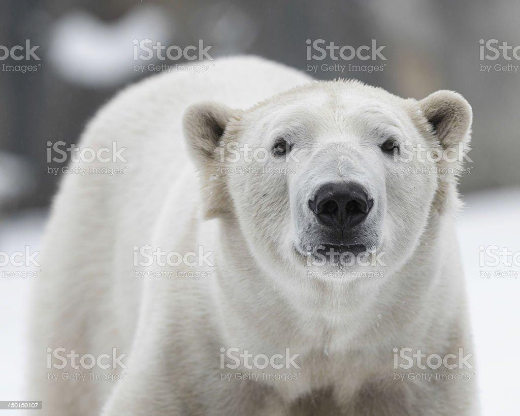 Polar bear portrait stock photo
