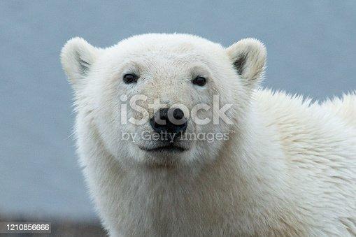 Polar Bear posing for the camera on the beach in Northern Alaska