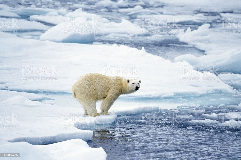 polar bear preparing to swim stock photo