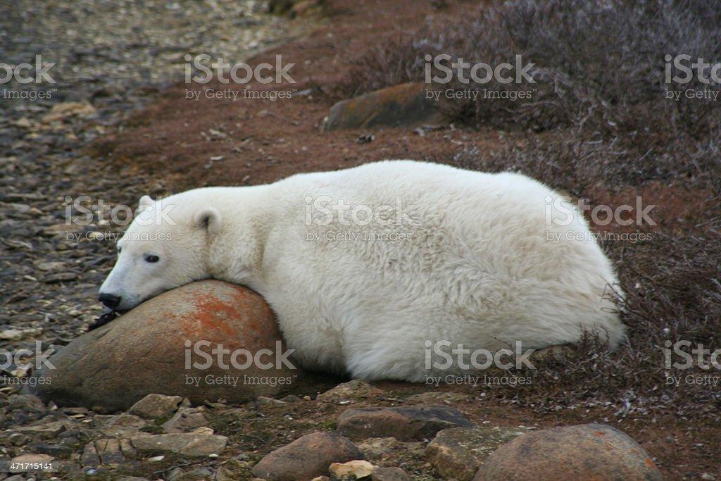 Polar Bear Resting on the Tundra royalty-free stock photo