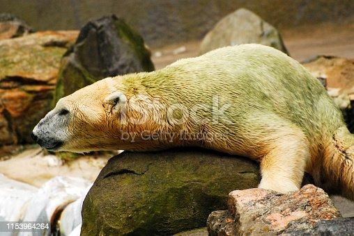 A polar bear lifts his head off the rock, spotting possible prey
