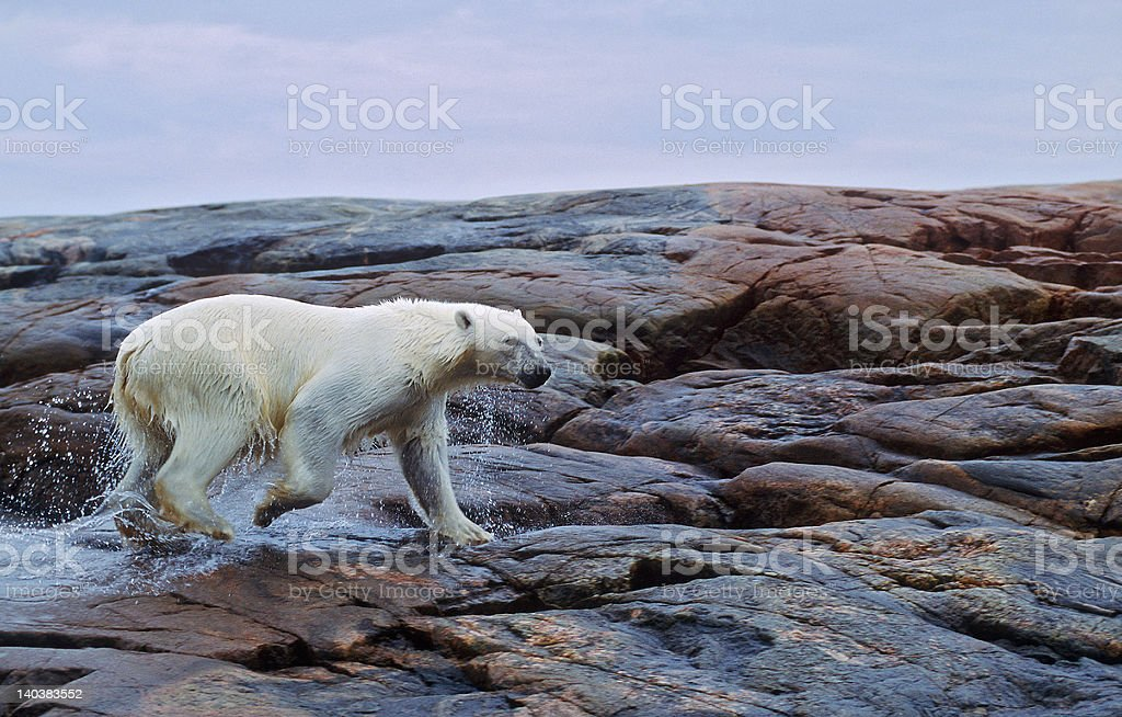 Polar bear running royalty-free stock photo