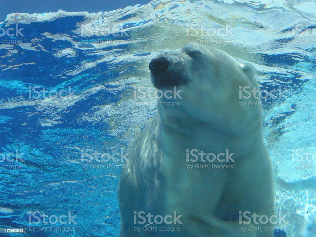 Polar bear - shot  under water royalty-free stock photo