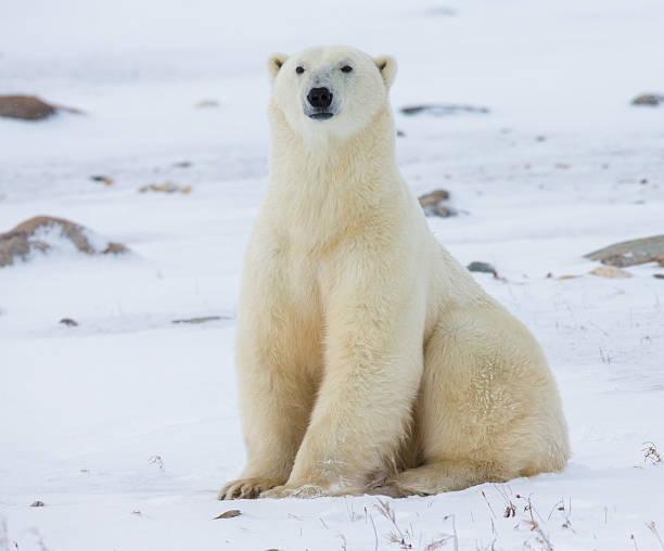 Polar bear sitting in the snow on the tundra. stock photo