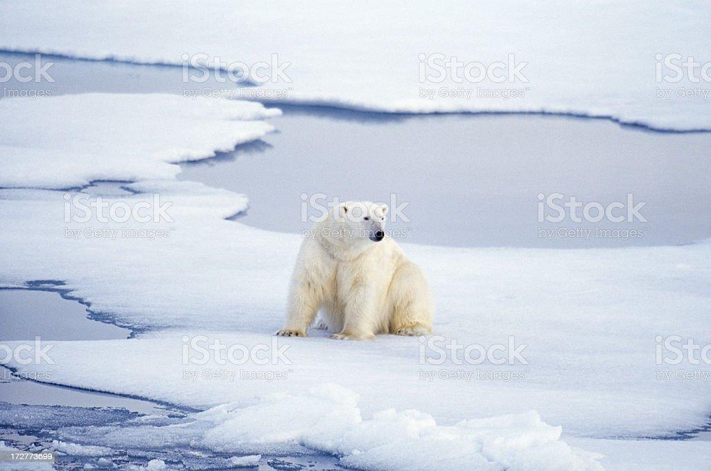 polar bear sitting royalty-free stock photo