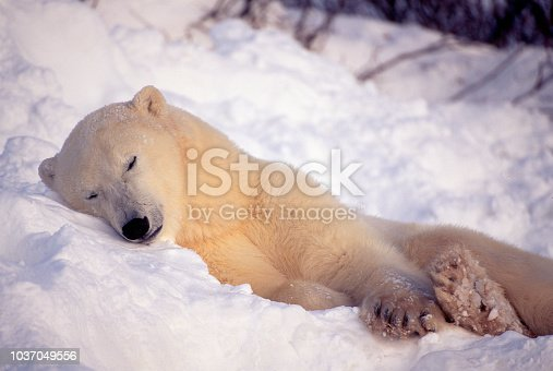 A Polar Bear takes a nap in the snow on the arctic tundra in Manitoba, Canada.